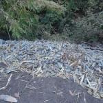 Carottes-non-sélectionnées-déversé dans le lit d'une rivière